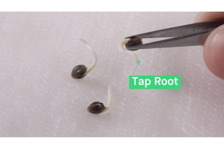 germination 0010 HMG GERMINATION 11