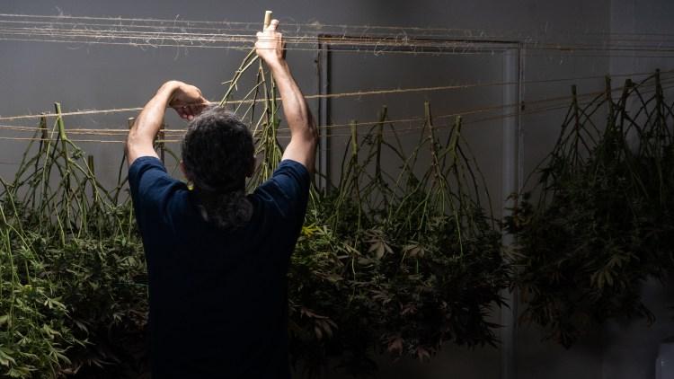 homegrown cannabis co kushman hanging harvest dark